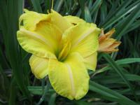 Denivka Triumph Glorious (Hemerocallis hybrida)