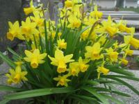 Narcissus  'Tete a Tete' - Narzisse