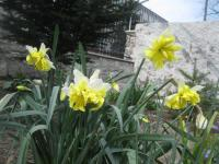 Narcissus  'Belcanto' - Narzisse