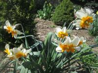 Narcissus     'Parissienne'  Narzisse Pflanze