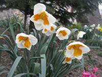 Narcis Tricollet - Collar narcisy (Narcissus x hybridus)