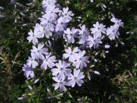 Phlox subulata  'Emerald Cushion Blue'  Polster-Phlox Pflanze