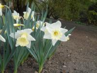 Narcissus  'Mount Hood' - Narzisse