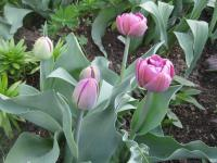 Tulipa 'Lilac Perfection'  Tulpe Pflanze
