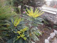 Mahonia x media   'Winter Sun' - Mittlere Mahonie