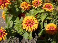 Zinnie Zinnia elegans  'Swizzle Scarlet and Yellow'