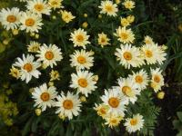 Leucanthemum maximum  'Broadway Lights' - Sommer-Margerite