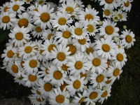 Leucanthemum maximum  'Snow Lady' - Sommer-Margerite