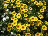 Zauberglöckchen Calibrachoa  'Calita Yellow Red Morn'