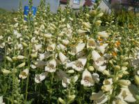 Digitalis purpurea  'Virtuoso Cream'  Roter Fingerhut Pflanze