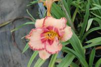 Hemerocallis 'New Quest'  Taglilie Blüten