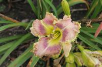 Denivka Wise Whiskers (Hemerocallis hybrida)