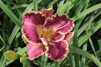 Hemerocallis 'Jennifer Trimmer'  Taglilie Blüten