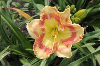 Denivka Tumbled Glass (Hemerocallis hybrida)