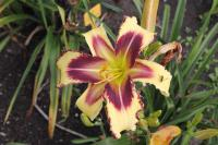 Hemerocallis hybrida  'Dimensional Shift' - Taglilie