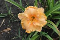 Hemerocallis hybrida  'Pineapple Moon' - Taglilie