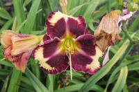 Hemerocallis hybrida  'The Dark Side' - Taglilie