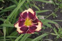 Hemerocallis   'The Dark Side'  Taglilie Blüten