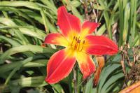 Taglilie Hemerocallis hybrida  'All American Chief'