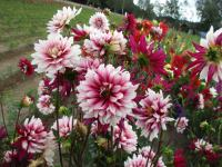 Dahlia  'Rebeccas World' - Garten-Dahlie