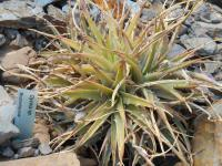 Dykie (Dyckia)