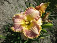 Denivka Spacecoast Southern Belle (Hemerocallis hybrida)
