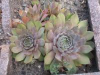 Hauswurz Sempervivum hybridum  'Bottle of Griotte'