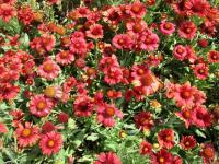 Gaillardia aristata  'Arizona Red Shades'  Kokardenblume Pflanze