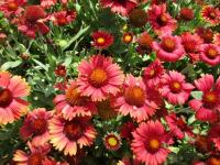 Kokardenblume Gaillardia aristata  'Arizona Red Shades'