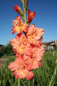 Gladiolus  'Orange Joker' - Gladiolen