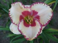 Hemerocallis  'Ageless Beauty' - Taglilie
