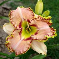 Denivka Ellis Powell (Hemerocallis hybrida)