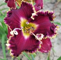 Denivka Magnificent Grape (Hemerocallis hybrida)