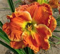 Taglilie Hemerocallis  'Texas Big Bend'