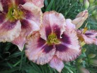 (Hemerocallis hybrida) Denivka Daring Deception