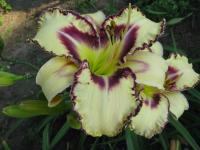 Hemerocallis  'Angel Fairy Tern' - Taglilie