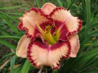 Hemerocallis   'Lies and Lipstick' - Taglilie