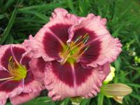 Hemerocallis  'Macbeth' - Taglilie
