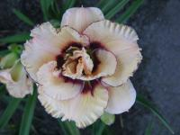 Hemerocallis  'My Friend Wayne' - Taglilie