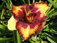Hemerocallis  'Mystical Mirror' - Taglilie