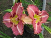 (Hemerocallis hybrida) Denivka Only Believe