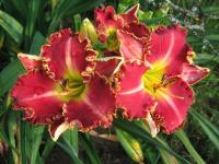 (Hemerocallis hybrida) Denivka Painting the Roses Red