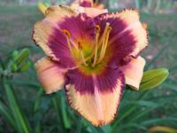 Taglilie Hemerocallis  'Pirate's Patch'