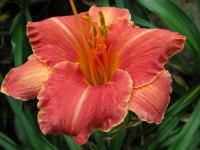 Taglilie Hemerocallis  'Pretty Fancy'