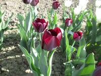 Tulipán Queen of Night (Tulipa x hybrida)