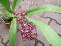 Orchideje (Oncidium)