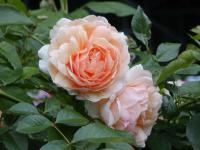 Rosa  'Apricot Queen' - Rose