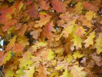 Quercus Rubra Amerikanische Roteiche Garten De Com