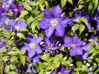 Clematis patens 'The President'  Waldrebe Pflanze
