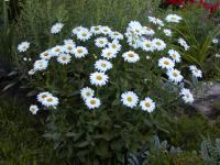 Leucanthemum maximum   - Sommer-Margerite